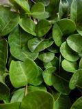 Vinca minor Gruner Teppich Green Carpet 1L Pot